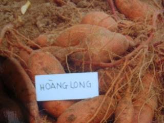 KhoaiHoangLong
